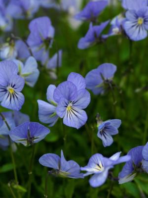 wpid12812-Plant-Profile-Perennial-Violas-PVIO016-nicola-stocken.jpg