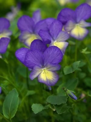 wpid12816-Plant-Profile-Perennial-Violas-PVIO018-nicola-stocken.jpg