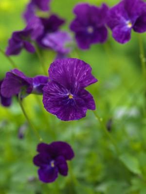 wpid12818-Plant-Profile-Perennial-Violas-PVIO019-nicola-stocken.jpg
