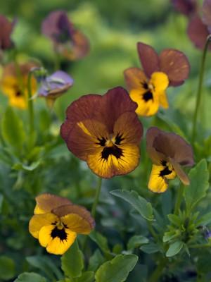 wpid12820-Plant-Profile-Perennial-Violas-PVIO020-nicola-stocken.jpg