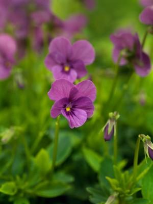 wpid12822-Plant-Profile-Perennial-Violas-PVIO021-nicola-stocken.jpg