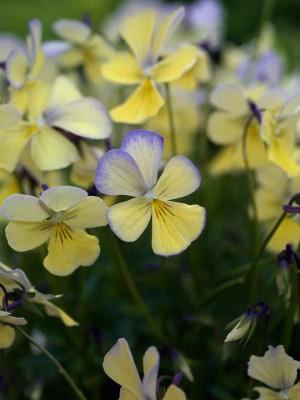 wpid12824-Plant-Profile-Perennial-Violas-PVIO022-nicola-stocken.jpg