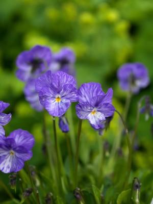 wpid12826-Plant-Profile-Perennial-Violas-PVIO023-nicola-stocken.jpg