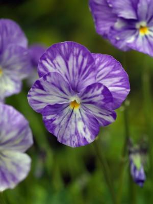 wpid12828-Plant-Profile-Perennial-Violas-PVIO024-nicola-stocken.jpg