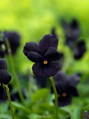 wpid12830-Plant-Profile-Perennial-Violas-PVIO025-nicola-stocken.jpg