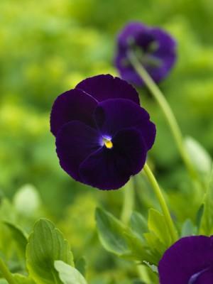 wpid12832-Plant-Profile-Perennial-Violas-PVIO026-nicola-stocken.jpg
