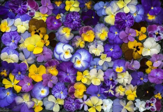 wpid12842-Plant-Profile-Perennial-Violas-GVIO060-nicola-stocken.jpg