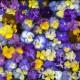 wpid12842-Plant-Profile-Perennial-Violas-GVIO060-nicola-stocken.jpg thumbnail