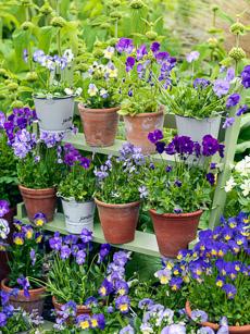Thumbnail image for Plant Profile – Perennial Violas