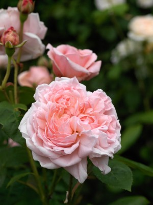 wpid13795-Town-Place-in-July-ROSE327-nicola-stocken.jpg
