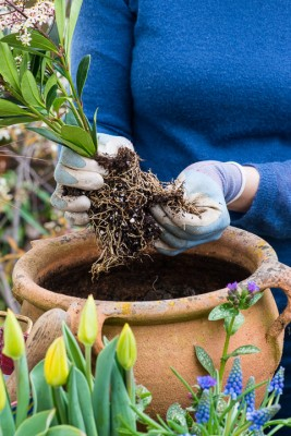 wpid14083-Planting-a-Spring-Pot-Step-by-Step-QCON021-nicola-stocken.jpg