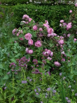 wpid14461-Romancing-The-Rose-DESI655-nicola-stocken.jpg