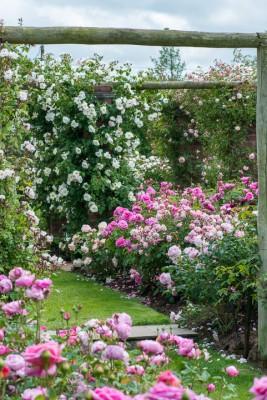 wpid14477-Romancing-The-Rose-GDAV045-nicola-stocken.jpg