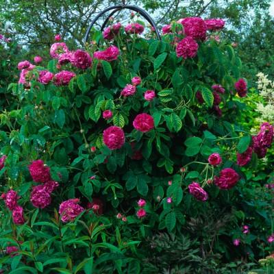 wpid14487-Romancing-The-Rose-GDIA012-nicola-stocken.jpg