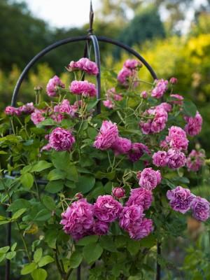 wpid14489-Romancing-The-Rose-GDIA086-nicola-stocken.jpg
