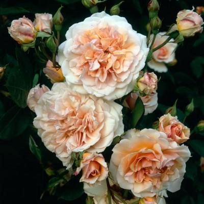 wpid14523-Romancing-The-Rose-ROSE107-nicola-stocken.jpg
