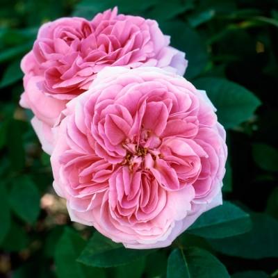 wpid14527-Romancing-The-Rose-ROSE213-nicola-stocken.jpg