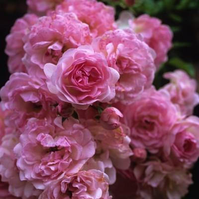 wpid14529-Romancing-The-Rose-ROSE237-nicola-stocken.jpg