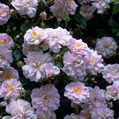 wpid14531-Romancing-The-Rose-ROSE270-nicola-stocken.jpg