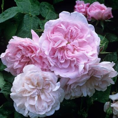 wpid14535-Romancing-The-Rose-ROSE279-nicola-stocken.jpg