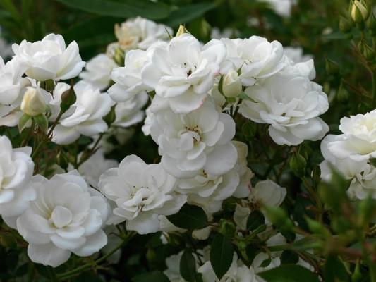 wpid14539-Romancing-The-Rose-ROSE312-nicola-stocken.jpg
