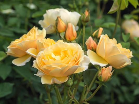 wpid14541-Romancing-The-Rose-ROSE329-nicola-stocken.jpg