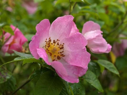 wpid14543-Romancing-The-Rose-ROSE340-nicola-stocken.jpg