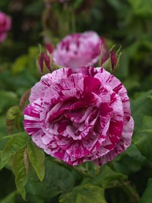 wpid14545-Romancing-The-Rose-ROSE344-nicola-stocken.jpg