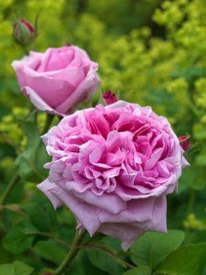 wpid14549-Romancing-The-Rose-ROSE351-nicola-stocken.jpg
