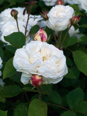 wpid14551-Romancing-The-Rose-ROSE371-nicola-stocken.jpg