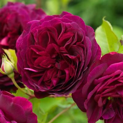wpid14553-Romancing-The-Rose-ROSE383-nicola-stocken.jpg
