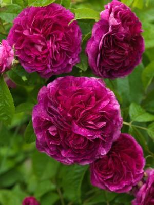wpid14555-Romancing-The-Rose-ROSE384-nicola-stocken.jpg