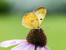Thumbnail image for Butterfly Plants