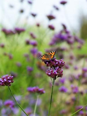 wpid15040-Butterfly-Plants-AINS147-nicola-stocken.jpg