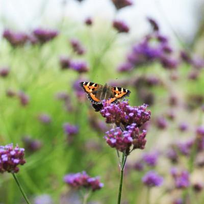 wpid15042-Butterfly-Plants-AINS149-nicola-stocken.jpg