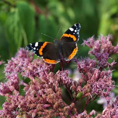 wpid15044-Butterfly-Plants-AINS150-nicola-stocken.jpg