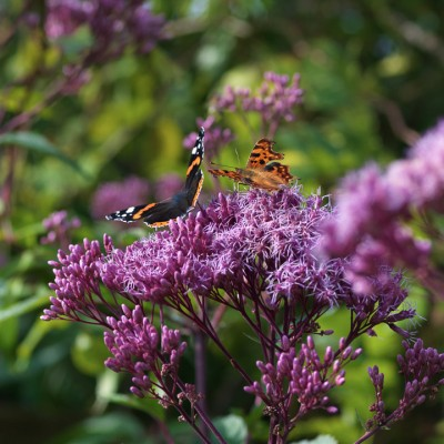 wpid15046-Butterfly-Plants-AINS153-nicola-stocken.jpg