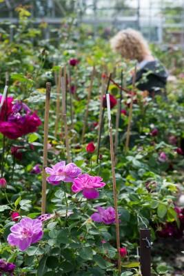wpid15395-David-Austin-and-His-Roses-GDAV010-nicola-stocken.jpg