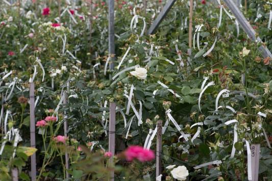 wpid15399-David-Austin-and-His-Roses-GDAV013-nicola-stocken.jpg