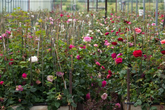 wpid15401-David-Austin-and-His-Roses-GDAV014-nicola-stocken.jpg