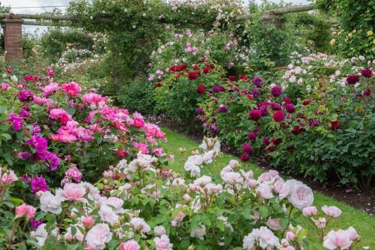 wpid15420-David-Austin-and-His-Roses-GDAV026-nicola-stocken.jpg