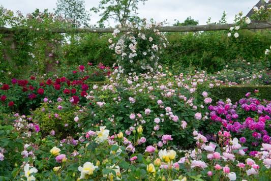 wpid15424-David-Austin-and-His-Roses-GDAV029-nicola-stocken.jpg