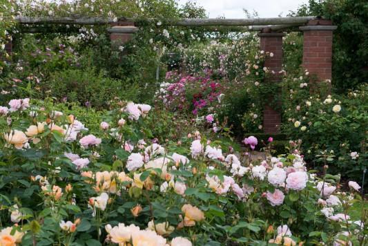 wpid15426-David-Austin-and-His-Roses-GDAV030-nicola-stocken.jpg