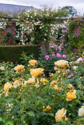 wpid15428-David-Austin-and-His-Roses-GDAV031-nicola-stocken.jpg