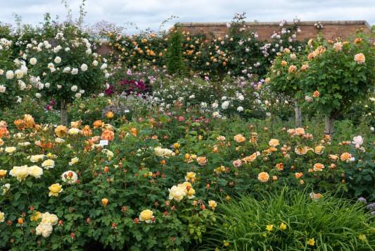wpid15432-David-Austin-and-His-Roses-GDAV038-nicola-stocken.jpg