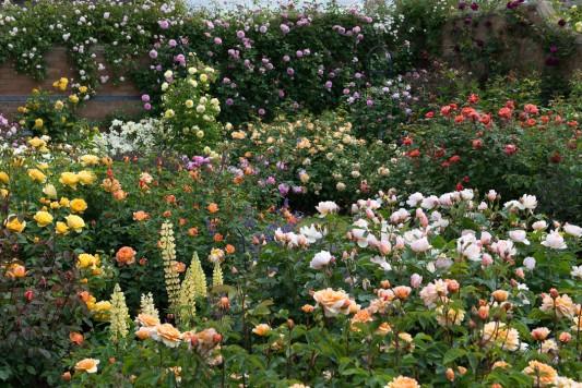 wpid15436-David-Austin-and-His-Roses-GDAV043-nicola-stocken.jpg