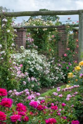 wpid15438-David-Austin-and-His-Roses-GDAV046-nicola-stocken.jpg