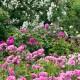 wpid15442-David-Austin-and-His-Roses-GDAV049-nicola-stocken.jpg thumbnail