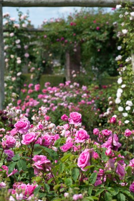 wpid15444-David-Austin-and-His-Roses-GDAV050-nicola-stocken.jpg