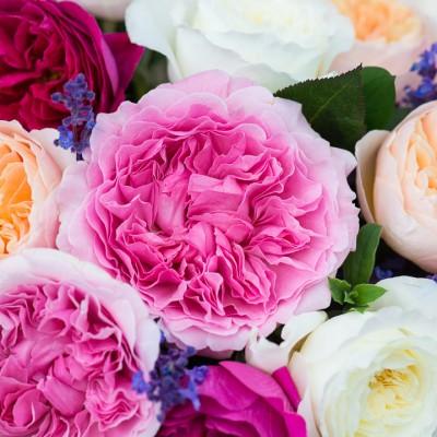 wpid15448-David-Austin-and-His-Roses-GDAV059-nicola-stocken.jpg